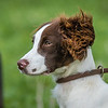 Cotswold Gundogs Shoot Skills Training Day 7d-86