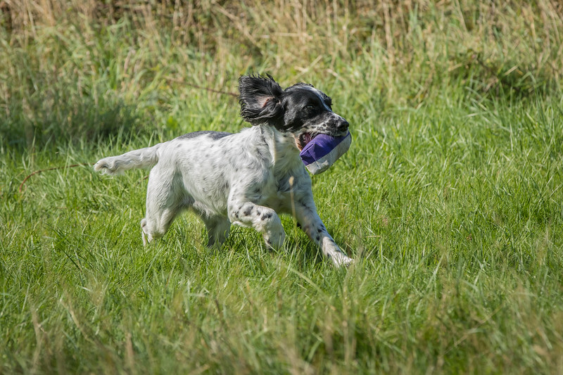 N&BTA Advanced Spaniel Day-131