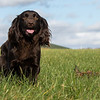 Northwick Estate Spaniel Live Shoot Over Day-187