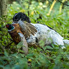 Northwick Estate Spaniel Live Shoot Over Day-28