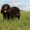 Northwick Estate Spaniel Live Shoot Over Day-186