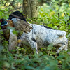 Northwick Estate Spaniel Live Shoot Over Day-29