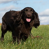 Northwick Estate Spaniel Live Shoot Over Day-188