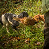 Northwick Estate Spaniel Live Shoot Over Day-73