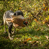 Northwick Estate Spaniel Live Shoot Over Day-70