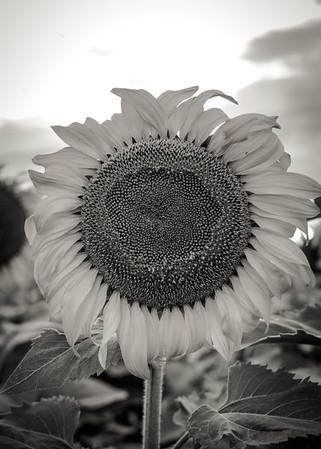 Sunflower near Denver, CO