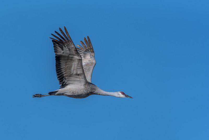 Sandhill crane at Monte Vista National Wildlife Refuge