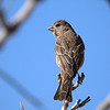 House Finch, New Mexico