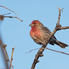 House Finch, Texas