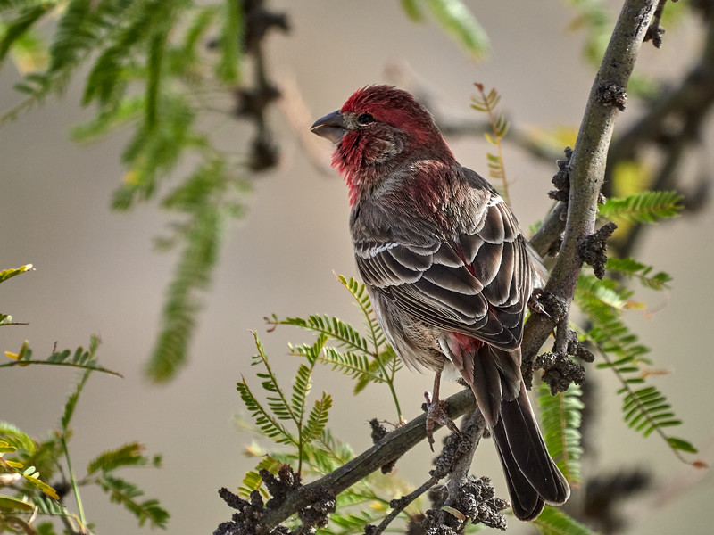 House Finch, Arizona