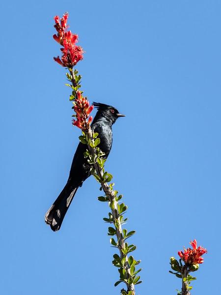 Phainopepla, Male, Texas