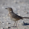 Sage Thrasher, California