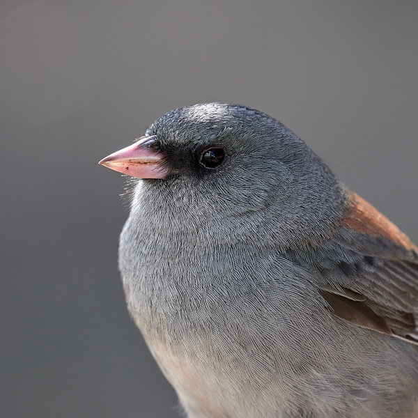 Dark-eyed Junco, Arizona