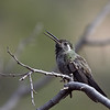 Blue-throated Hummingbird, Arizona