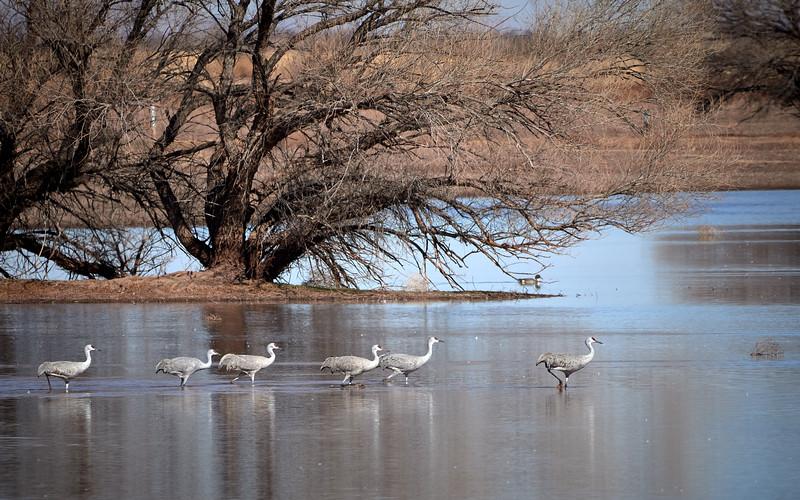 Sandhill Cranes, Arizona