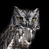 Elf Owl, Arizona