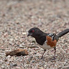Spotted Towhee, Arizona
