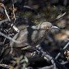 Curved Billed Thrasher, Arizona
