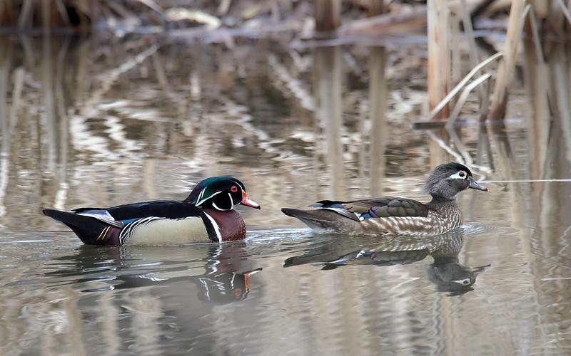 Wood Ducks - male and female, Ontario