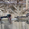 Wood Ducks - male and female, Ontario