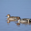 Northern Pintail, Arizona