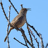 Curved-billed Thrasher, Arizona
