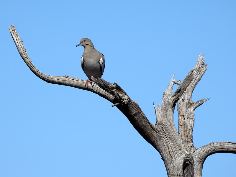 White-winged Dove, New Mexico