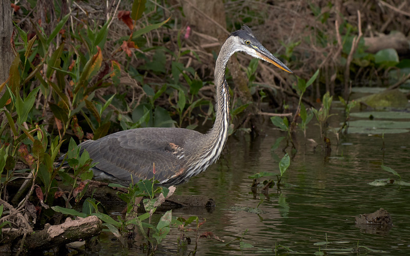 Great Blue Heron, Ontario