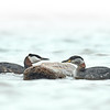 Red-necked Grebe - male and female, Ontario