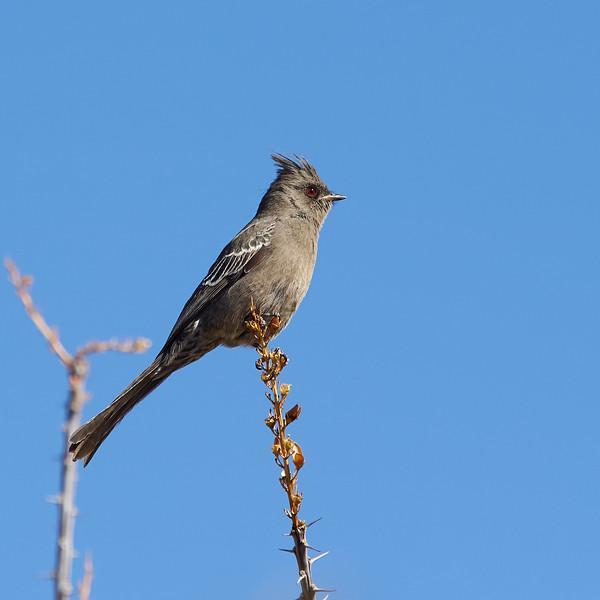 Phainopepla, Female, Texas