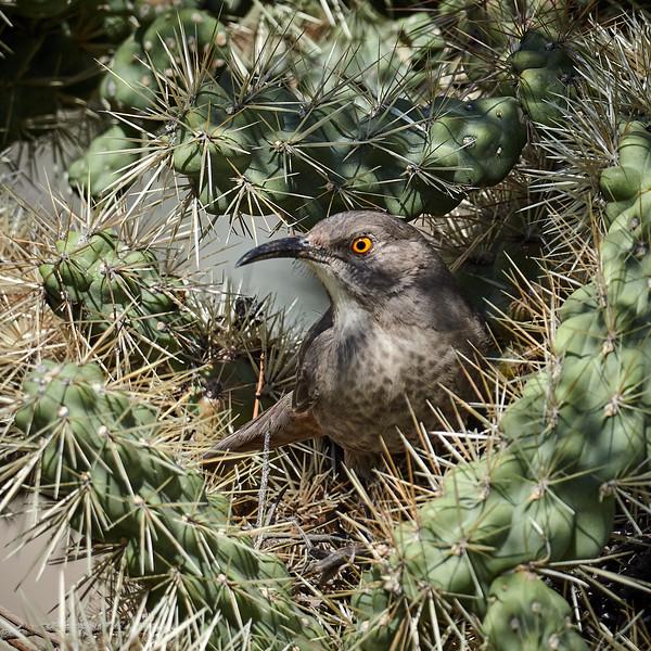 Curved-billed Thrasher, Arizona