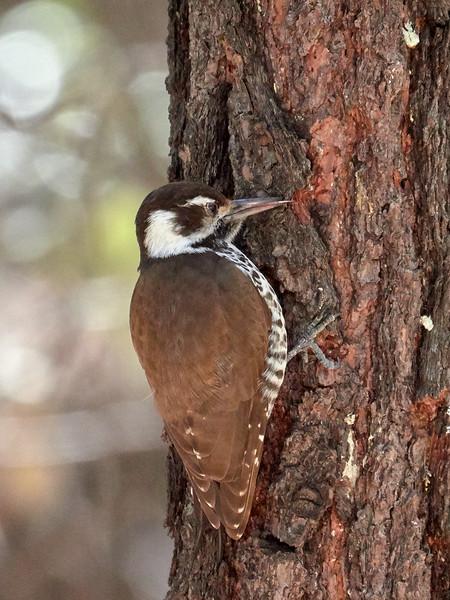 Arizona Woodpecker, Arizona