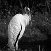 Wood Stork, Florida