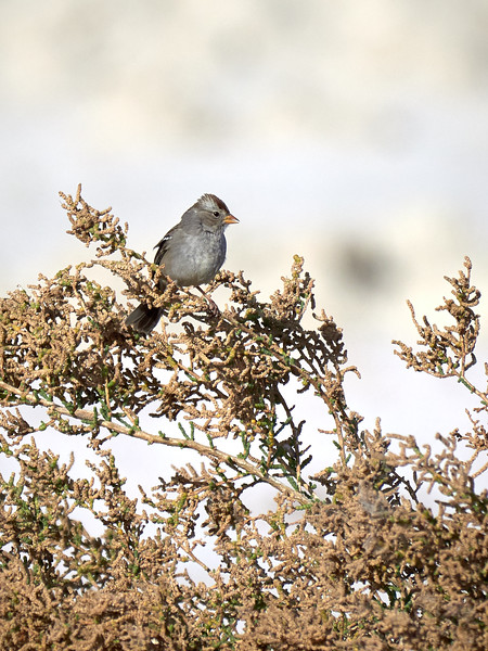 White-crowned Sparrow. California