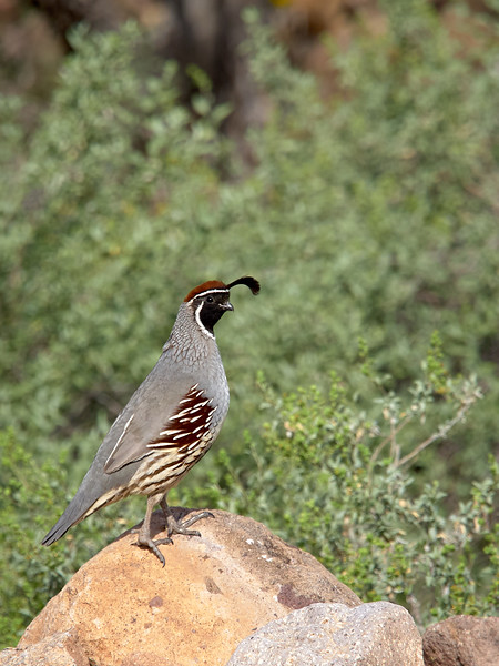Montezuma Quail, Male, Arizona
