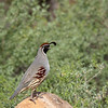 Montezuma Quail, Male, Arizona