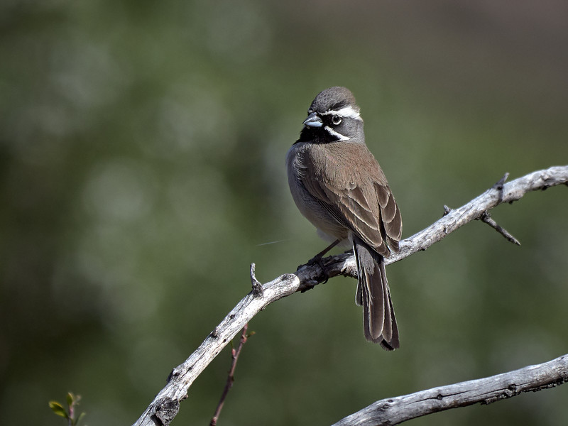 Black-throated Sparrow, New Mexico
