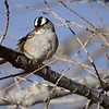 White-crowned Sparrow, Arizona