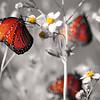 Queen Butterflies in selective color at Ritch Grissom Memorial Wetlands (Viera Wetlands), Florida.
