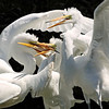 Hungry Great Egrets