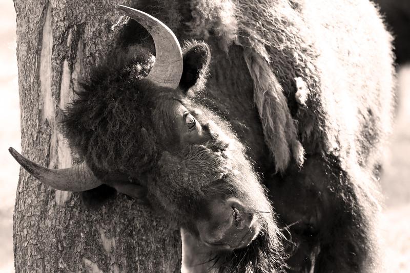 Bison Scratching Post