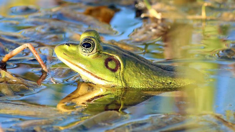 Wetlands Frog (Pig Frog)