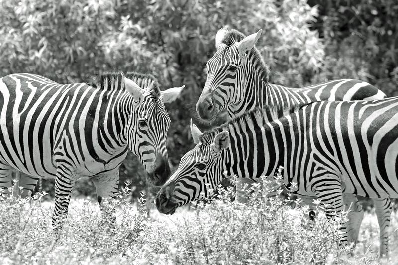 Playful Zebra