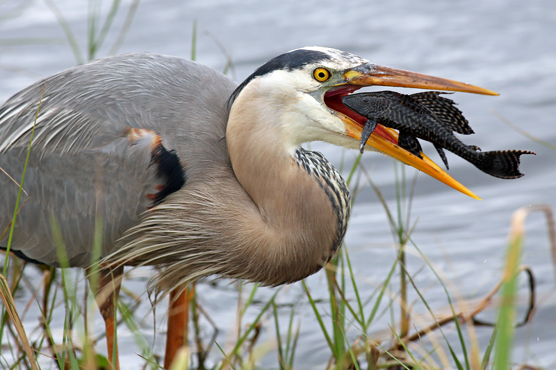 Great Blue Heron Eating Plecostomus