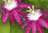 Purple Passion Flowers