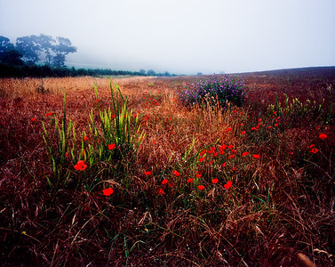 Poppies and wheat, England
