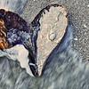 Pen Shell Heart