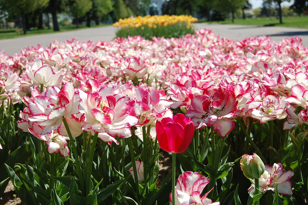 Tulips at white Chapel 2013 034