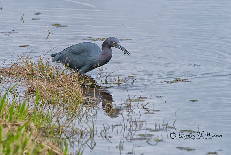 Little Blue Heron,  Savannah National Wildlife Refuge