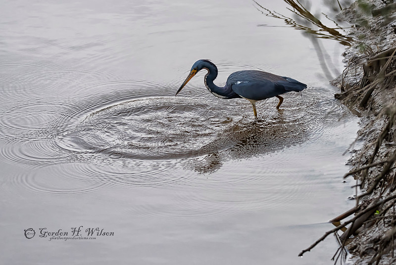 Next, Tricolored Heron, Savannah National Wildlife Refuge